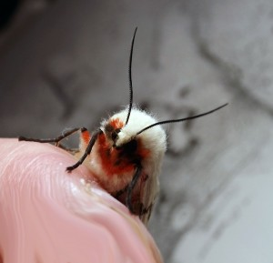 DSCF8315 light ermine moth